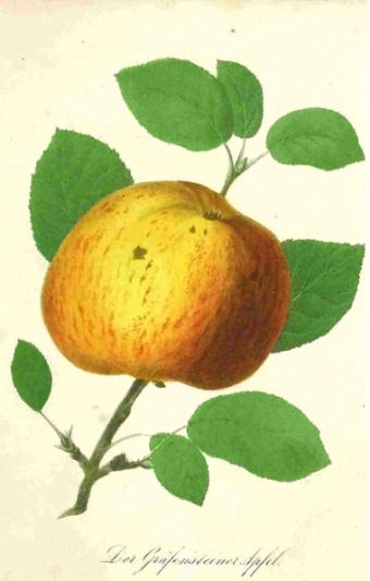 Gräfensteiner Apfel  - Abb.: Sickler's deutscher Obstgärtner 1849