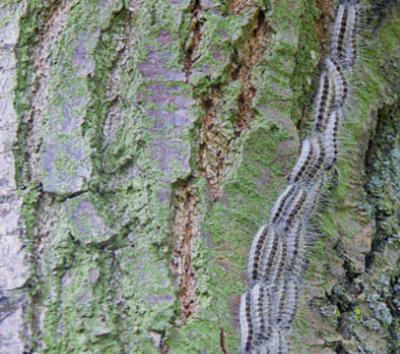 Typische Prozession des Raupen des Eichenprozesssionsspinners