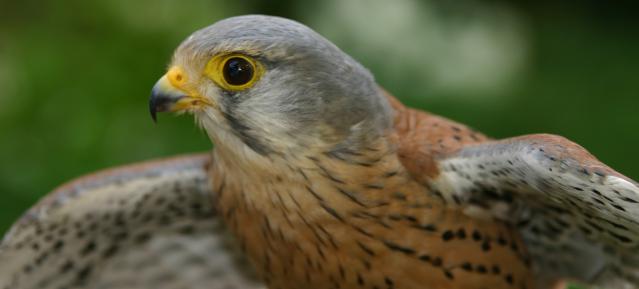 Junger Turmfalke (Falco tinnunculus) - Foro: NABU J.S.Scharon