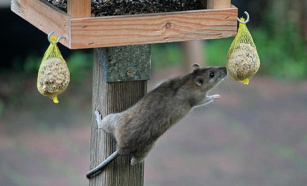 Rattus norvegicus entert Vogelhaus