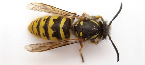 Gemeine Wespe, Foto: Trounce, Wikimedia Commons, CC-BY-3.0