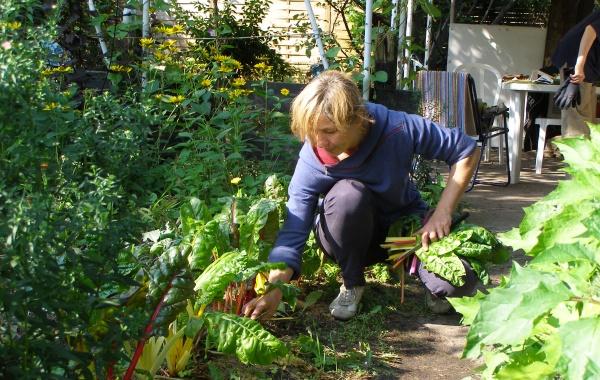 Mangold wird geerntet im NABU-Naturgarten