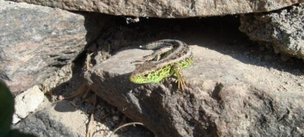 Zauneidechse (Lacerta agislis)