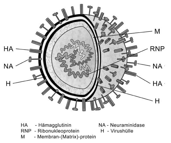 Schema: Influenzavirus