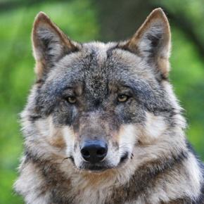 Wolf - Foto: Thomas Pusch
