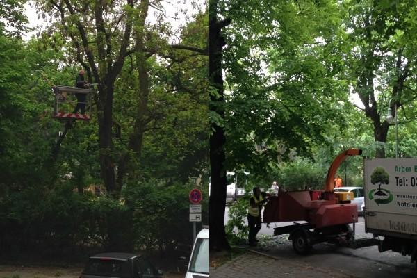 Baumpflege-Arbeiten auf dem Kollwitzplatz