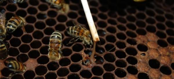 Bienenfaulbrut: Streichholzprobe