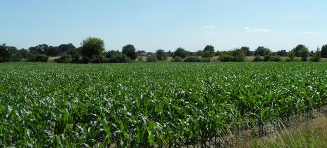 Maisfeld vor Französisch-Buchholz