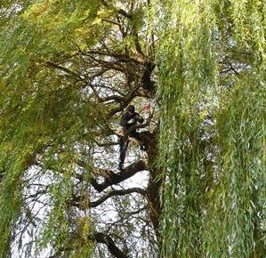 Baumpflegearbeiten: Kronenschnitt an Trauerweiden