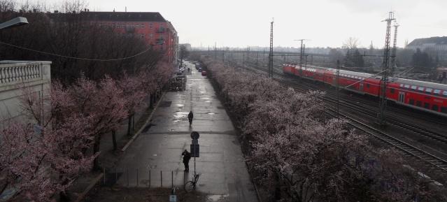 Kirschblüte in der Norwegerstrasse am 27.12.2013