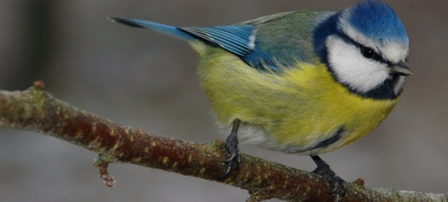Blaumeise (Parus caeruleus) - Foto: Willi Kroll