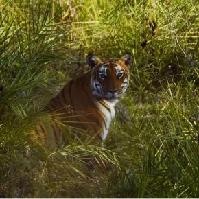 Tiger im Nationalpark Bandipur - Foto: Yathin S Krishnappa