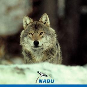 Wolf - Foto: Nabu