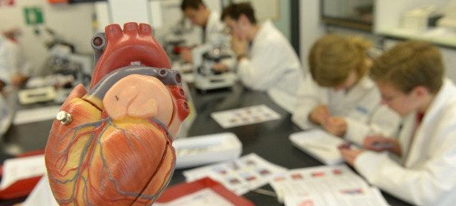 Gläsernes Labor: Arbeiten am Herzmodell