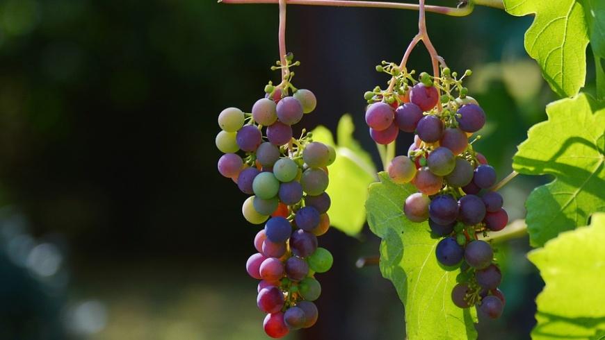 Weinbau am Volkspark Prenzlauer Berg