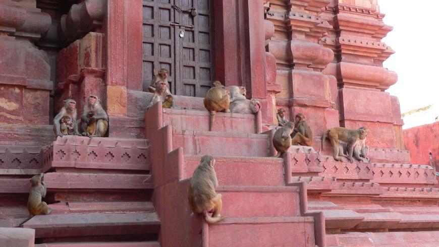 Affen in Vrindavan © Amina Mendez