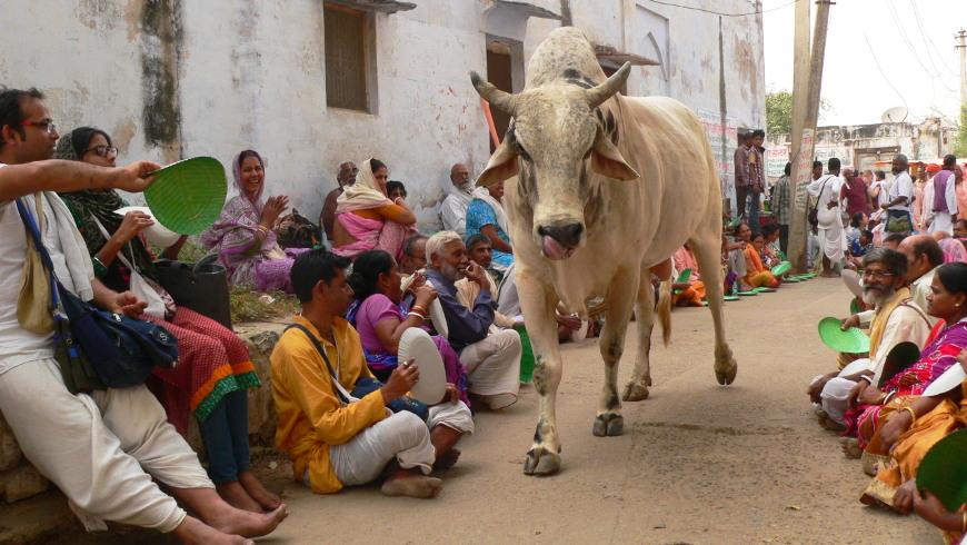 Kuh spaziert zwischen den Pilgern, die auf ihre Mahlzeit warten © Amina Mendez