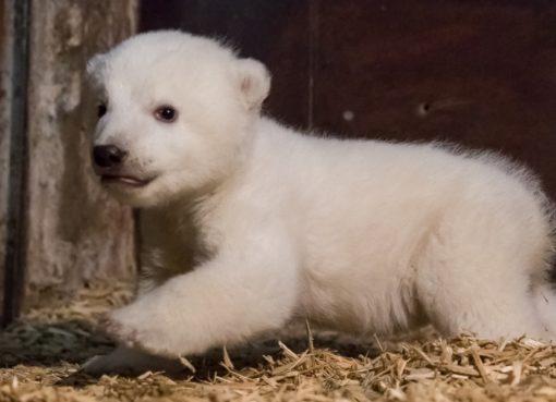 Eisbärjunge Fritz - Foto: © 2017 Tierpark Berlin