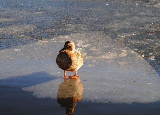 Stockente auf Eisscholle