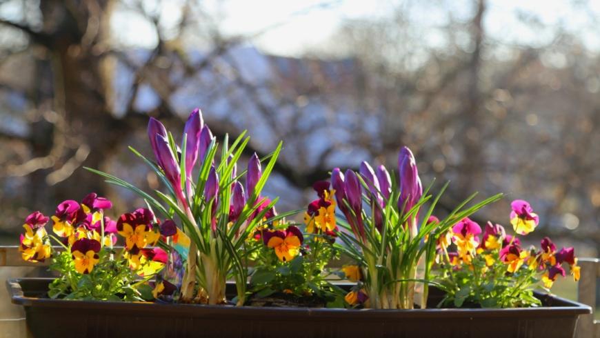 Frühlingsbeginn im Balkonkasten