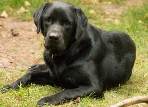 Labrador Othello