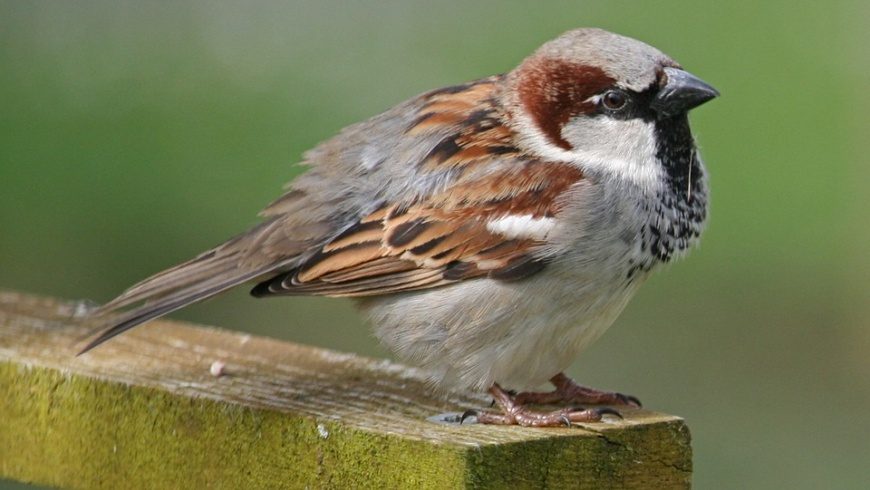 Sperling ( Passer domesticus)