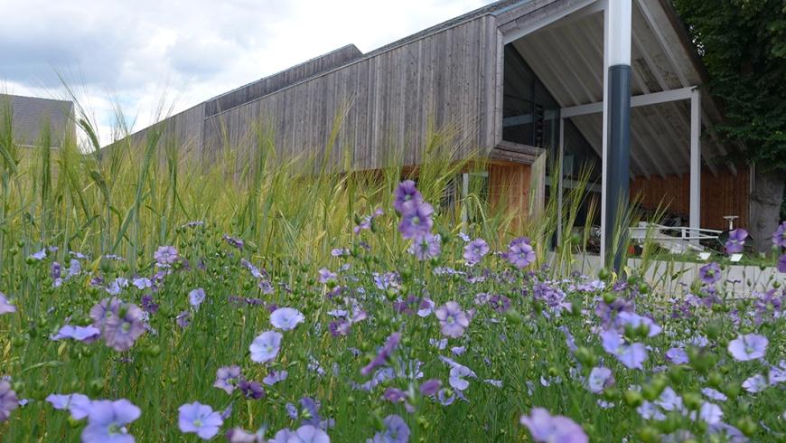 Der Lein blüht im Schaugarten