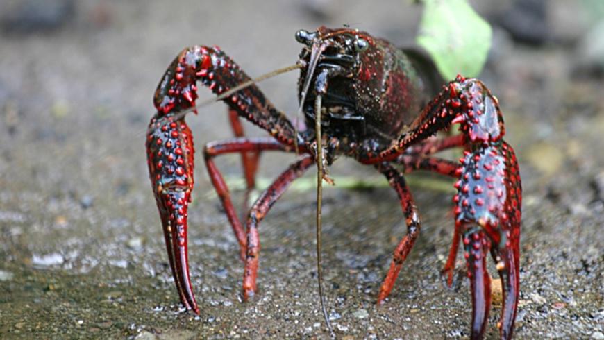 Roter Amerikanischer Sumpfkrebs