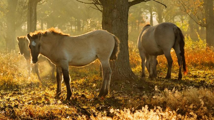 Waldbeweidung im Naturpark Barnim