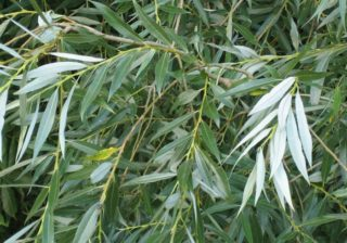 Salix alba - Silberweide
