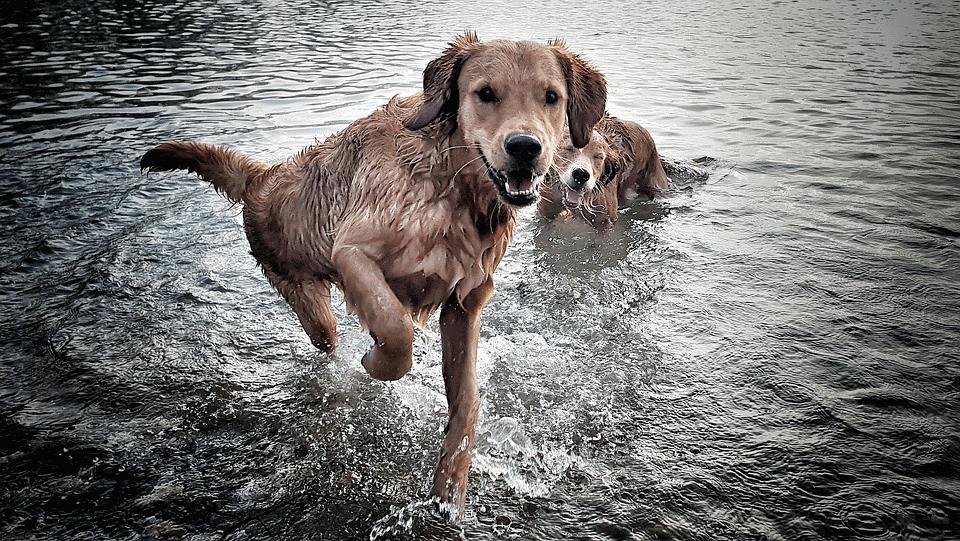 Warum nasse Hunde stinken